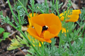 Bee gathering pollen from a California poppy (by me)